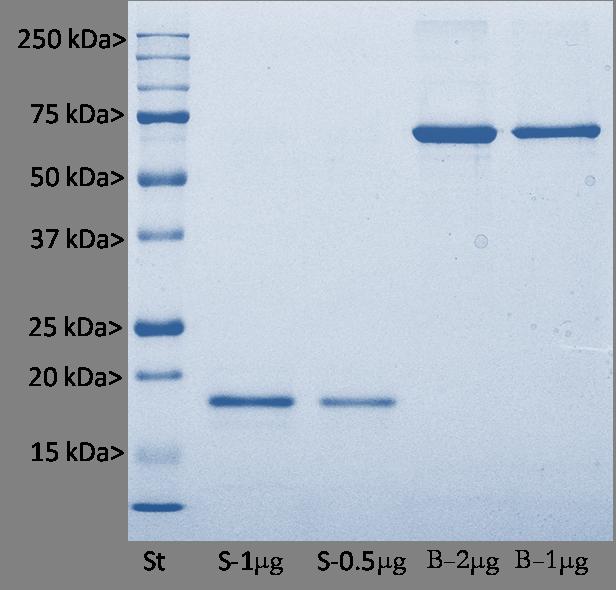 S100β Protein, Cat# Prot-r-S100B